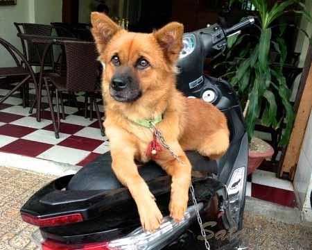 Путешествие с собакой в Таиланд - более чем возможно!