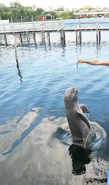 Дельфины в Лэм Синге Чантабури